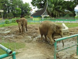 Elephants at Bukittingi zoo