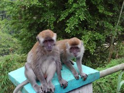 Monkeys at Panaroma Park